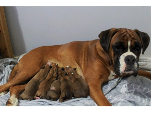 Beautiful Kc Boxer Pups