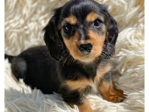 Pure Dachshund AKC Pups
