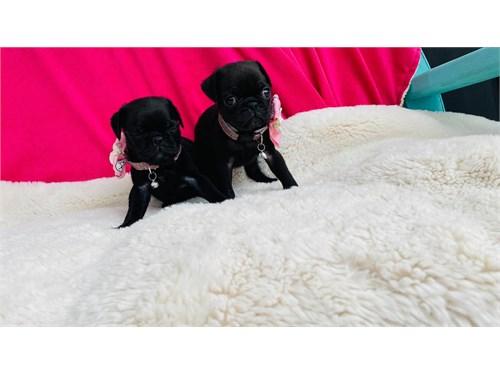 black pug girls