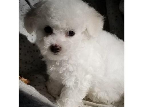 Remakra Bichon Frise pups
