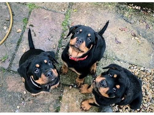 M/F Rottweiler pups ready