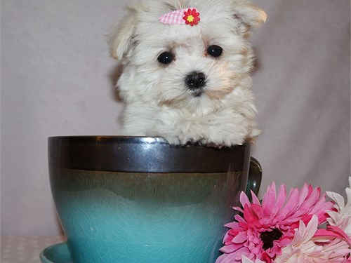 Maltipoo girl Cream Puff