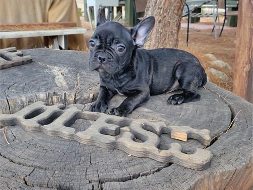 French Bulldog Pups