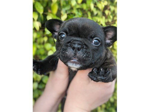 SOLD AKC FRENCHIE PUPPY
