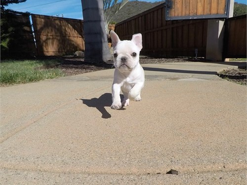 Male Frenchie Puppy!!!