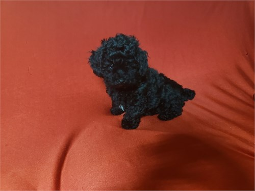 Toy Poodle Male