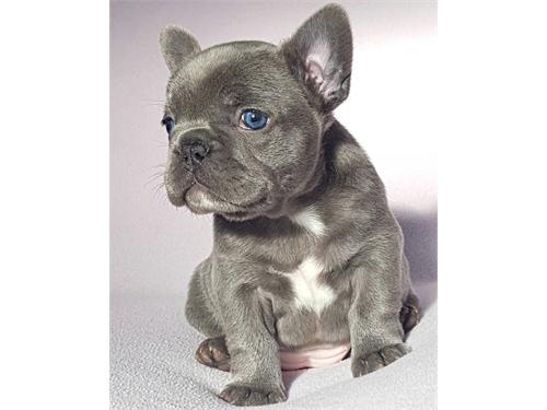 Akc Blue French Bulldogs