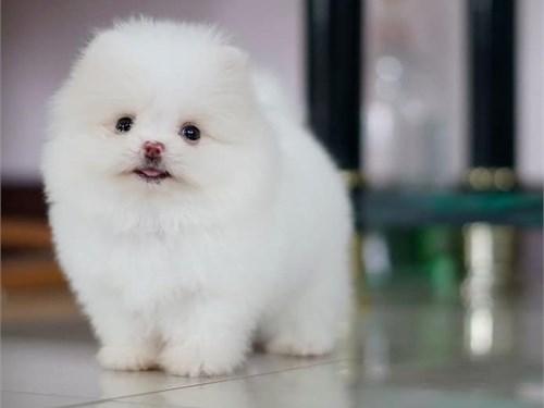 P0meranian puppies