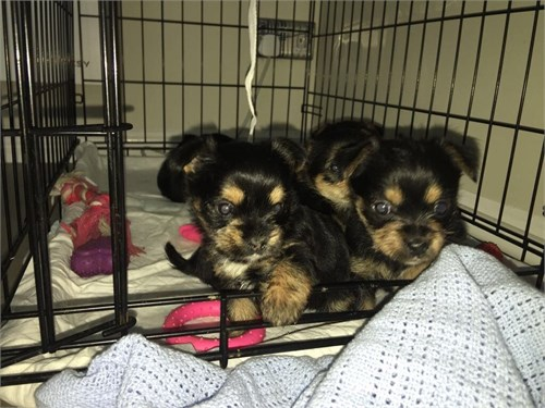 Akc Yorkie puppies Now Re