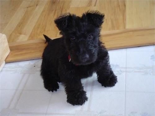 Scottie terriers Puppies
