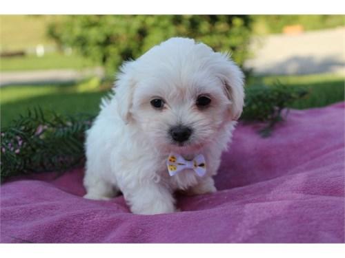 Amazing Maltipoo puppy