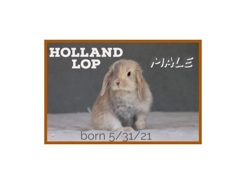 PUREBRED HOLLAND LOPS