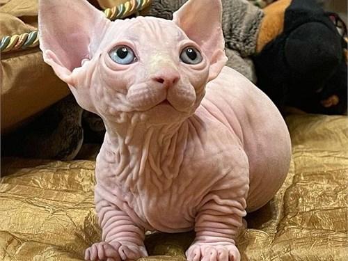 Pure Sphynx breed kittens