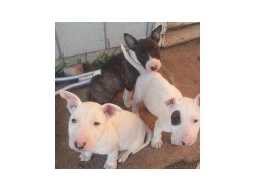 Fair Bull Terrier Puppies