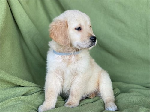 Adorable Golden Retriever