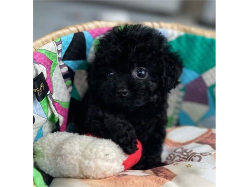 Black toy poodle puppy