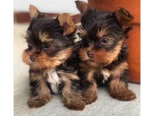 Cute Yorkie Pups