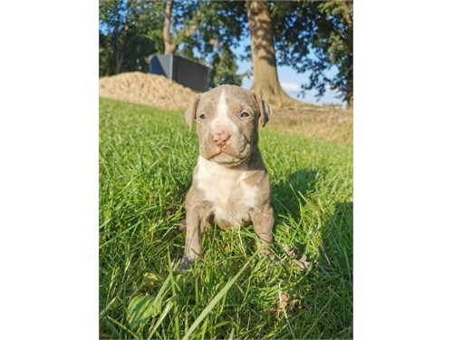 //ame.rican pit.bull pups