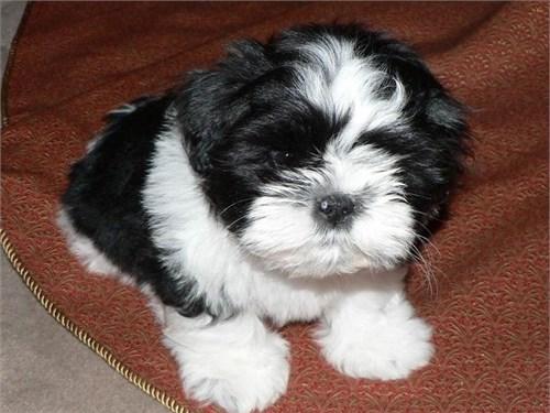 Cute Shih Tzu Pups Now