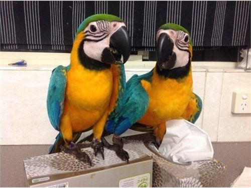 Macaws Parrots Available