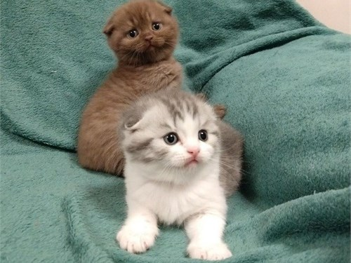 Lov Scottish fold kittens