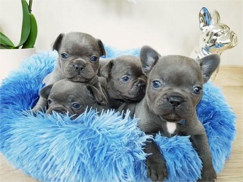 Blue Eyes Frenchies