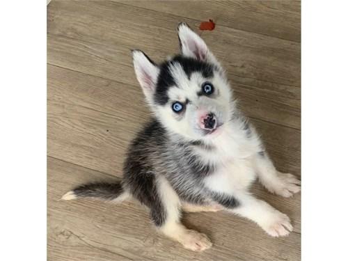 Siberian Husky puppies,