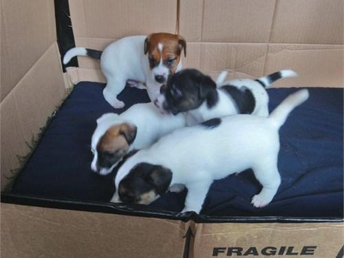 Jack Russell Terrier Pupp