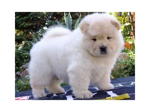 cute chow chow puppies