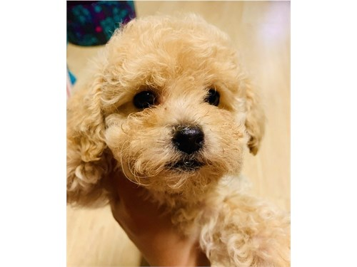 toy poodle puppy boy