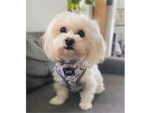 unique Maltipoo puppies