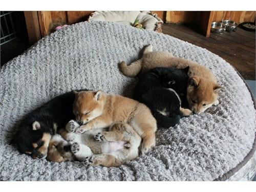 Shiba Inu puppies cdvfvff