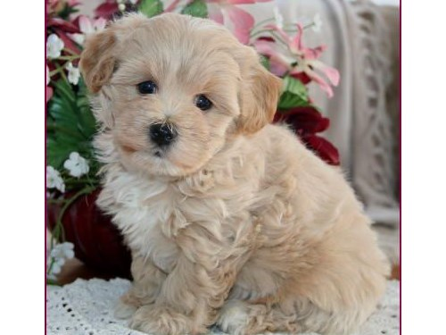 4 Gorgeous maltipoo pupys