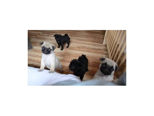 Pug Fawn color & Black