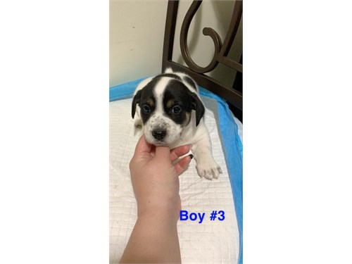 Jack Russell Puppies (CKC