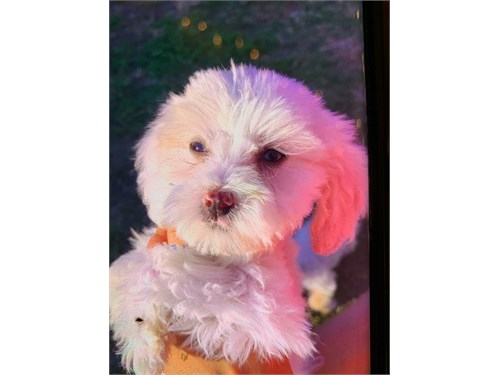 Toy Maltipoo homi package