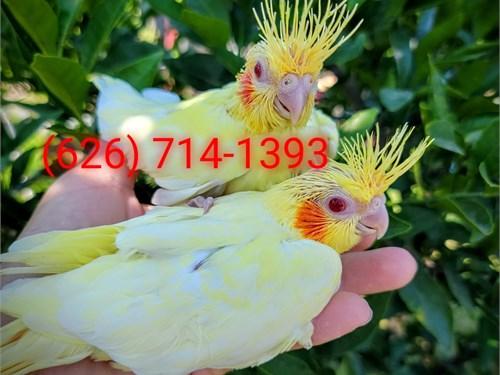 Cute Baby Cockatiels
