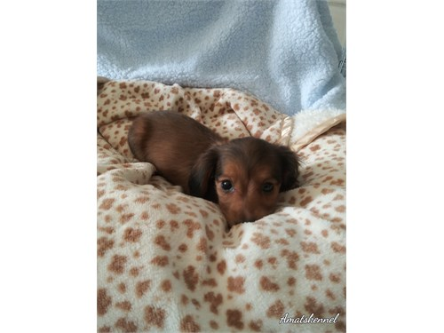 Mini Dachshunds