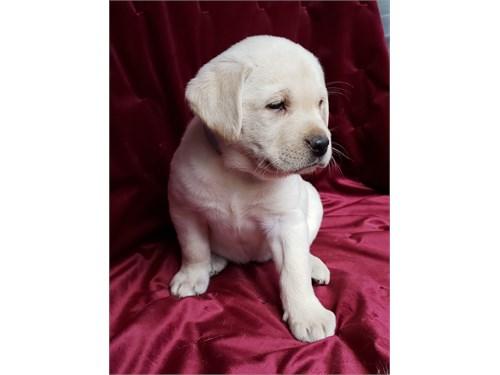Labradors AKC, DNA tested