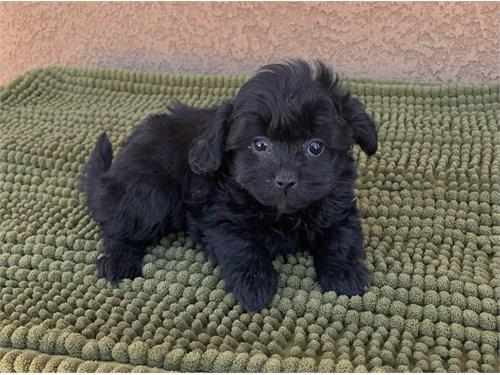 Teacup Morkiepoo Puppies