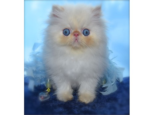 Persian Flame Pt.M Kitten