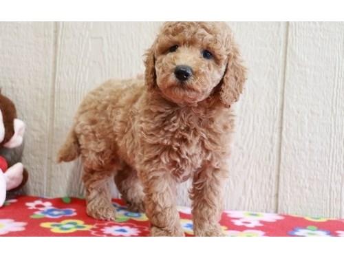 Mini Golden Doodle Pups