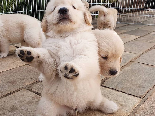 AKC Golden Pups for Sale