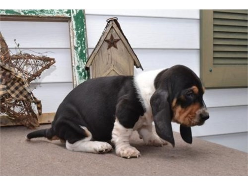 little baby basset hound