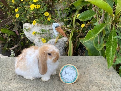 Purebred Baby Holland Lop