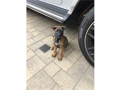 Malinois Pups Belgian Mak
