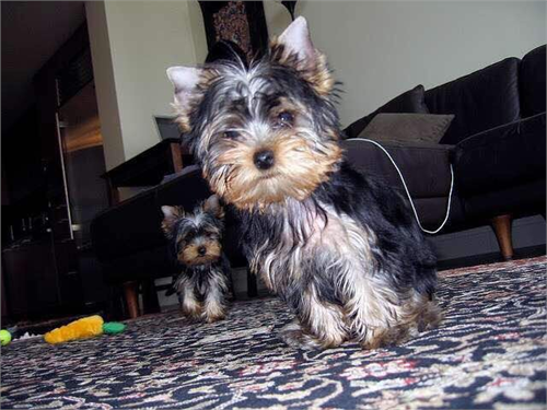 They are purebred Yorkie