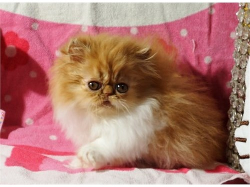 Tiny Persian Kitten