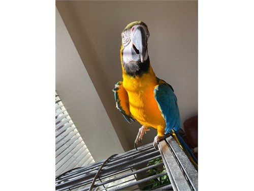 Bargain!! Baby Macaw