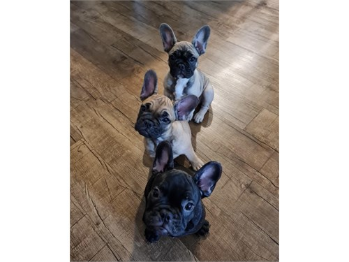 Black Brindle Male Puppie